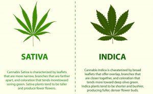Indica vs. Sativa Strains